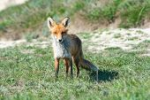 Stripped And Hungry Fox In The Meadow poster