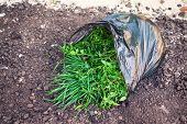 Black Plastic Bag With Weeds On The Ground. Close-up. poster
