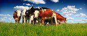Herd of Beef Cattle grazing in pasture poster