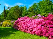 Rhododendron, Rhododendron Park, Azaleas, Azalea, East Asia, Flowers, Blossoms, Colorful, Buds, Plan poster