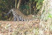 Jaguar On Riverbank From Pantanal, Brazil. Wild Brazilian Feline. Nature And Wildlife. Panthera Onca poster