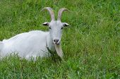 Goats In The Household Yard. Goat Walks Through The Yard Of A Country Farm. poster