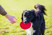 Obedient Purebred Border Collie Dog Playing Outdoors In The Park As Fetching The Flying Disc Toy Bac poster