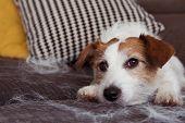 Furry Jack Russell Dog, Shedding Hair During Molt Season Relaxing On Sofa Furniture. poster