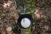 stock photo of afforestation  - Tapping latex from a rubber tree at Thailand - JPG