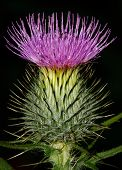 stock photo of scottish thistle  - Scotch Thistle in flower a popular scottish icon - JPG