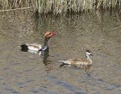 picture of crested duck  - Male and femaleRed - JPG