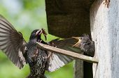 Starling alimenta su Chick