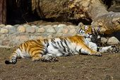 foto of tigress  - Young amur tigress Panthera tigris altaica in the Moscow zoo - JPG