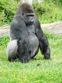 Male Silver-back Gorilla