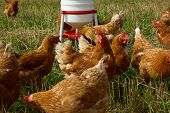 stock photo of poultry  - Free range organic chickens poultry in a country farm - JPG