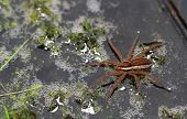 Great Fen Raft Spider (Dolomedes plantarius)