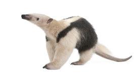 stock photo of honkers  - Collared Anteater - JPG
