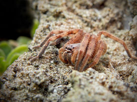 picture of huntsman spider  - A close - JPG