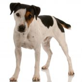 picture of jack russell terrier  - smooth coat tri - JPG