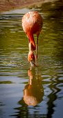 Flamingo Drinking