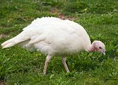 foto of turkey-hen  - White Turkey hen walking on a grass - JPG