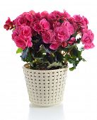 stock photo of begonias  - blooming pink begonia in pot  isolated on white background - JPG