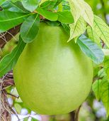 foto of calabash  - Calabash Tree and Fruit crescentia cujete is generally used to make a cup for serving or drinking - JPG