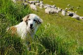 picture of mustering  - Sheepdog guarding a flock of sheep herd - JPG