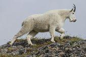 stock photo of goat horns  - a mountain goat climbs a hill - JPG