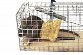 stock photo of mouse trap  - Scoop or mouse trap with a mouse trapped with a piece of bread - JPG