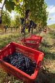 image of box-end  - Boxes overflowing with grapes during the harvest year-end