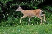 foto of mule deer  - A young mule deer running across the meadow - JPG