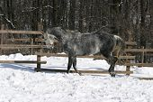 picture of bouncing  - A  gray horse bouncing in winter corral - JPG