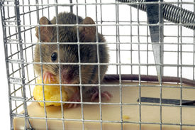 picture of mouse trap  - Scoop mouse or mouse trap before the bomb is done - JPG