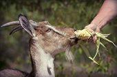 stock photo of goat horns  - Animal feeding  - JPG