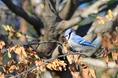 stock photo of blue jay  - Blue Jay in winter - JPG