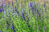 image of lavender plant  - Growing purple Lavandula angustifolia or English Lavender flowers in garden - JPG