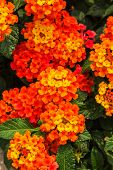 pic of lantana  - Beautiful Colorful Hedge Flower Weeping Lantana Lantana camara Linn in the garden