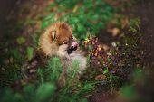 stock photo of tongue licking  - cute Pomeranian puppy licks muzzle tongue outdoors - JPG