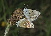 stock photo of ribwort  - Pair of Common Blue Butterflies  - JPG