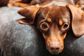 pic of dachshund dog  - Animals at home - JPG