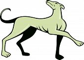 picture of greyhounds  - Illustration of a greyhound dog marching walking looking up viewed from side set on isolated white background done in cartoon style - JPG