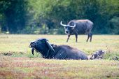picture of carabao  - asia buffalo in grass field at thailand - JPG