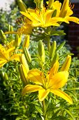 image of lilly  - Yellow lillies on the ornamental garden background - JPG