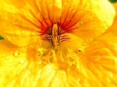 stock photo of nasturtium  - A close-up view of the inside of a yellow Nasturtium flower with