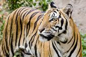 picture of sundarbans  - Tiger portrait of a bengal tiger in nature background - JPG