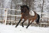 picture of working animal  - Brown horse working on the lunge in winter - JPG