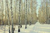 picture of birchwood  - Winter landscape in birchwood - JPG