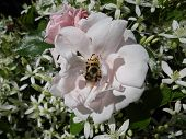 image of bumble bee  - A bumble bee collects nectar on a pinkish rose - JPG
