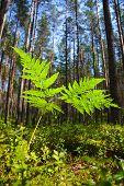 image of fern  - A fern at sunny summer forest - JPG
