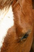 pic of bareback  - horse head close - JPG
