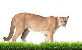 image of cougar  - puma or cougar with green grass isolated on white background - JPG
