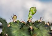 pic of bud  - The close up of Budding  cactus flower