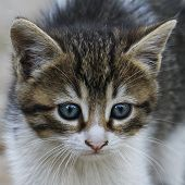 picture of tabby cat  - Close up portrait of tabby house cat - JPG